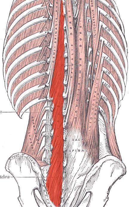 paraspinal muscles